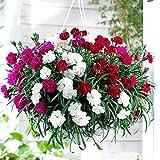 #9: Creative Farmer The Flowers Of God Flower Seeds Winter Flower Seeds Hanging Baskets- Garden Flower Seeds Pack
