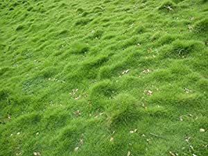 Syed Carpet Grass Seed 1000 Seed Pack Amazon In Garden
