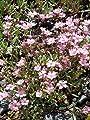 Gypsophila repens rosa - Zwergschleierkraut, 24 Pflanzen im 5/6 cm Topf von Dachstauden - Du und dein Garten