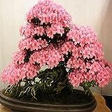 Rosepoem Bonsai Japanischen Kirschblüte Samen 10 stücke Bonsai Blume Kirschblüten