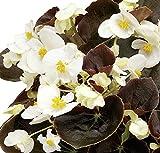 Eisbegonie Begonia semperflorens dunkellaubig weiß Pflanze im 9er Topf 12 Pflanzen im Set