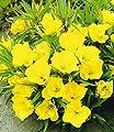 BALDUR-Garten Nachtkerze, 3 Pflanzen Oenothera von Baldur-Garten auf Du und dein Garten