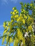 Indischer Goldregen-Gelbe Kassie (Cassia fistula) 20 Samen