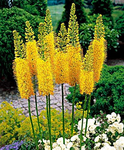 Keland Garten - 100pcs Kleopatranadel Steppenkerze Nadel von Cleopatra pflegeleicht Ägyptische Steppenlilie Gelb Blumensamen winterhart mehrjährig geeignet für Garten