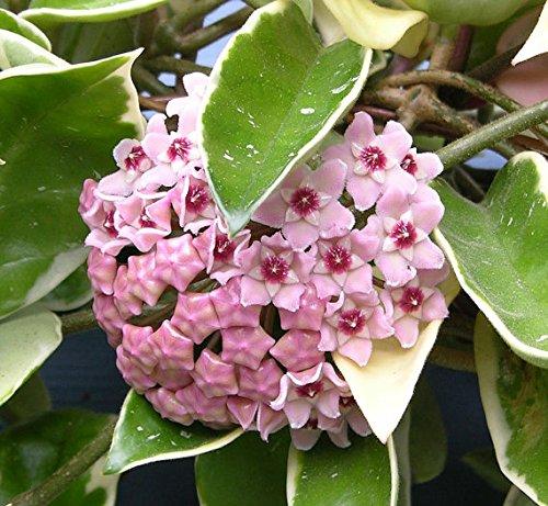 1 pianta hoya krimson queen fiore di cera vaso 12cm perenni
