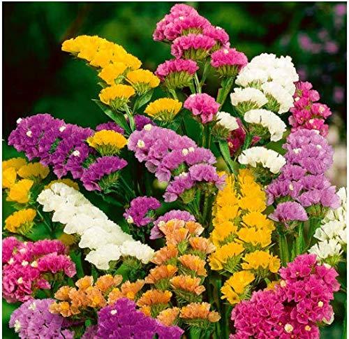 Tomasa Samenhaus- Selten Strandflieder Samen Blumensamen Mischung Strandflieder, Schnittblume Blumen bienenfreundliche Sommerblumenbeete für Balkon, Garten- mehrjährig