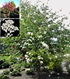 Cornus kousa chinensis Wieting's Select - chinesischer Blumenhartriegel Wieting's Select - 40 - 60 cm