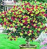 Shopmeeko 50 stücke Mix Farbe Bougainvillea Balkon Topf Yard Bonsai Blume Pflanze Immensly Auffällige Blühende Winterharte Kostenloser Versand Sementes: Grün