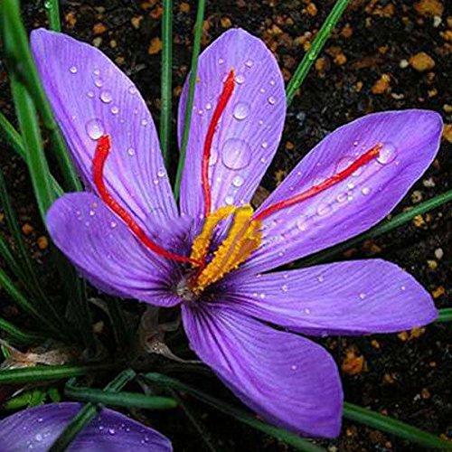 Galleria fotografica Rosepoem 8pcs Croco da zafferano Seed Flower Garden ortaggio Bonsai Home Decor