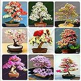 Shoopy Star Zypressen Platycladus Thuja orientalis Samen Conifer Bonsai 20 Stück