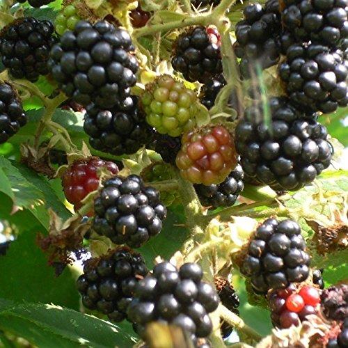 Grüner Garten Shop Brombeere Black Satin, süße saftige aromatische Beeren, stachellos ca. 60 cm im 3 Liter Topf
