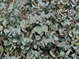 Eucalyptus Gunnii 1-2ft Tall In a 2L Pot, Attractive Bark, Aromatic Foliage 3fatpigs®