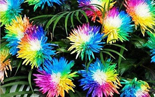 100 rainbow Novel graines chrysanthème bonsaï fleurs, SeedsAndPlants jardinage bricolage,!