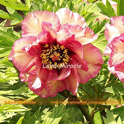 Rare Jaune Rouge Noir Tricolor Pivoine Mix Graines, 5 graines, plantes bonsaï pivoine arbustive Bush pour les fleurs terrestres jardin Miracle