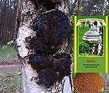 Chaga Pilz Birkenporling Tschaga Pilz Piptoporus betulinus 50 g (13,98Euro/100g) ...