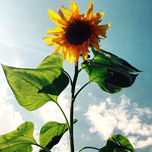 lot-de-15-graines-de-tournesol-semence-fleur-2m50-envoi-de-france-sous-48h-graines-certifie