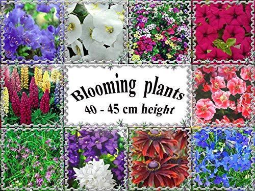 Portal Cool Polemonium caeruleum & # 034; Azure & # 034; : vivaces, plantes en fleurs 40-45 cm ou 16\