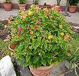 Wunderblume - Mirabilis jalapa - Mischung 10 Knollen