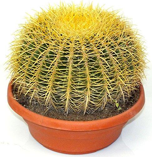 Echinocactus Grusoni supersss Ø33cm, H 30cm Schwiegermutterstuhl