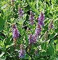 Echter Salbei Grete Stölzle - Salvia officinalis von Baumschulen auf Du und dein Garten