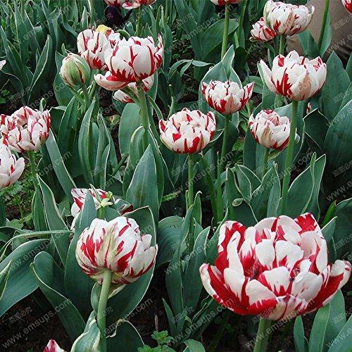 100pcs / Graines sac Bonsai Tulip rares graines rouges et blanches pétales de fleur de tulipe Graines Jardin Décoration Bonsai Fleur