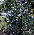 Hibiskus blaue Blüte blauer Hibiskus Rosen-Eibisch Blue Chiffon Hibiscus Blue Chiffon, Containerware, 60-80 cm hoch, von floranza® bei Du und dein Garten