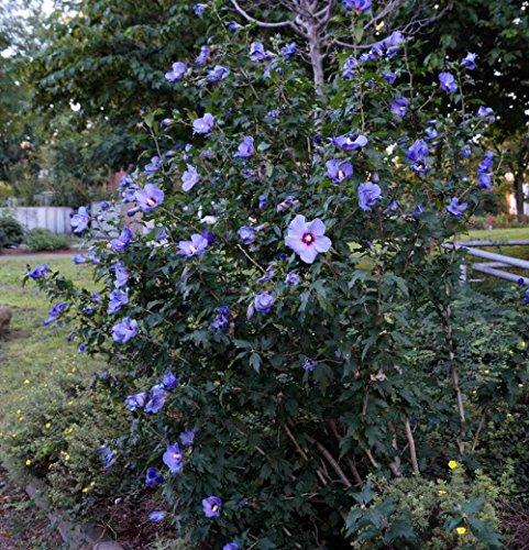 Hibiskus blaue Blüte blauer Hibiskus Rosen-Eibisch Blue Chiffon Hibiscus Blue Chiffon, Containerware, 60-80 cm hoch,