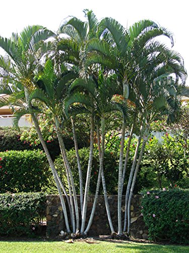 Seedeo Goldblattpalme (Dypsis lutescens) 6 Samen