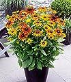 """BALDUR-Garten Winterhart Rudbeckia """"Summerina Yellow"""" 2 Pflanzen Sonnenhut von Baldur-Garten - Du und dein Garten"""