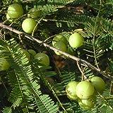 Phyllanthus Emblica Seeds immagine