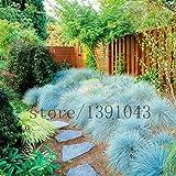 100 bleu fétuque Semences à gazon - (Festuca glauca) herbe ornementale plante vivace si facile à cultiver l'herbe pour le jardin à la maison