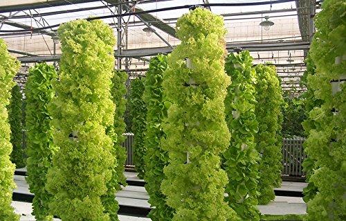 200 graines de laitue italien bon goût, facile à cultiver, grand choix de salades, de légumes Accueil bricolage