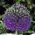 """Zierlauch - Allium """" Purple Sensation """" (3) von GHA-Thulke bei Du und dein Garten"""
