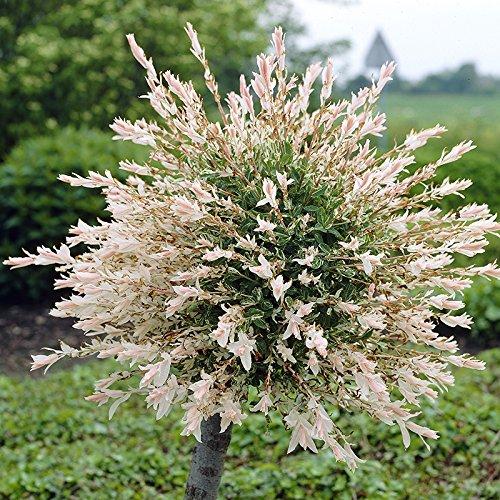 salix-hakuru-nishiki-standard-plants-1m-tall