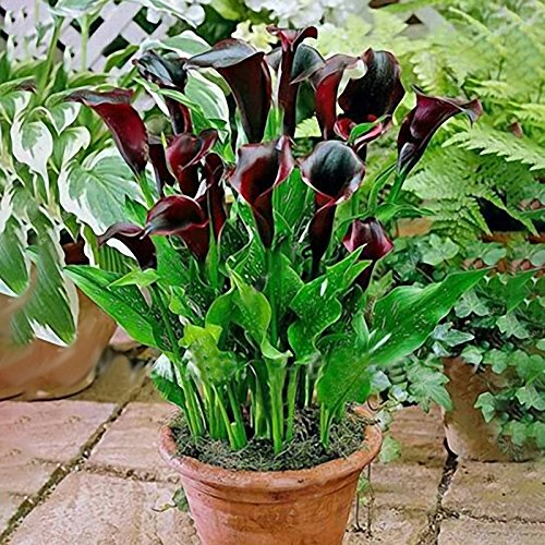 EgBert 50 Pcs Calla Lily Seeds Tropic Beautifying Plants Garden Potted Flowers Perennial Lily Seeds - Weinrot -