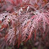 Acer palmatum Dissectum Garnet (Japanischer Roter Schlitzahorn Garnet) 30-40cm / 3l-Container (Bäume & Raritäten, Bäume)