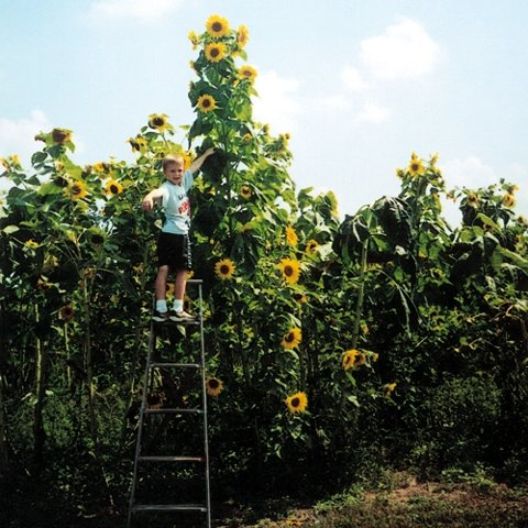 Riesen-Sonnenblume - Wolkenkratzer - Sky Scraper - 20 Samen