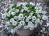 Pinkdose Blumensamen: Alyssum Maritimum Gartenhecke (25 Pakete) Gartenpflanze Samen von