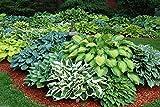 Funkien Samen, American Kreuzen Mix, Breite Palette O fvariety, perfekten für Schatten.