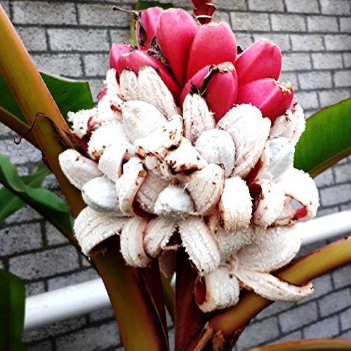 Future Exotics Musa VELUTINA Pflanzen Rosa Zwergbananen mit essbaren Früchten 55-65 cm