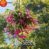 Best-Verkauf! Zygocactus Truncatus Schlumbergera Samen Indoor Topfpflanzen Blumen-Grün Pflanzen Samen 100 Stück, # 8KRIL4