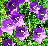 Portal Cool Pfirsichblatt-Glockenblume, 257 Samen Blau-Weiß-Mix, 2