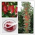 100 Stück Schisandra Samen, Baumfrucht bonasi Baum für DIY Hausgarten Pflanze Chinese Magnolia Rebe Essbare Fruchtsamen von SVI bei Du und dein Garten