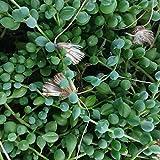 Senecio rowleyanus (String of Pearls) - 10 cm esqueje