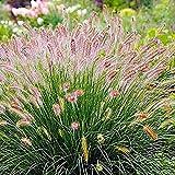 Inkeme Giardino - Semi di erba ornamentale rara di erba di lampreda Code di coniglietto Coda di coniglietto Semi di erba semi di erba Hardy per giardino Balcone/Patio
