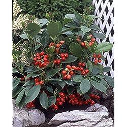 Dominik Blumen und Pflanzen, Aukube, Japanische Goldorange 'Rozannie' - Strauch Sträucher, 40-60 cm hoch, 3-4 L Container, grün, 55 x 30 x 30 cm