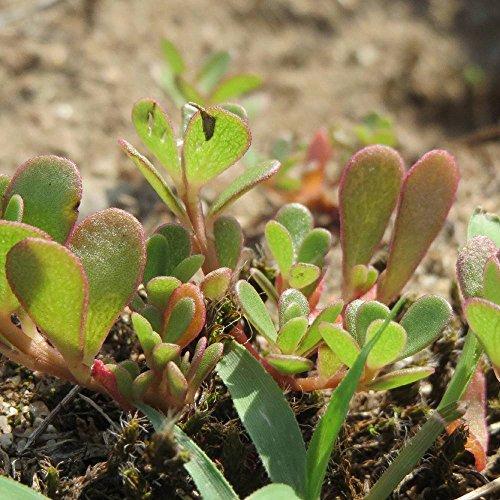 Semi di erbe - Portulaca / Portulaca oleracea - Portulacaceae - diversi tipi(Portulaca - verde)