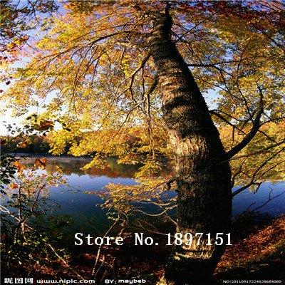 grandes-semillas-de-arce-venta-50pcs-bonsai-siembra-el-florecimiento-de-90-semillas-de-rboles