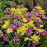 Mix Allium Molly/Oreophilum,100bulbi di fiori