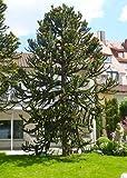 Tropica - Araukarie-Andentanne (Araucaria araucana) -2 Samen